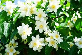 fotos flores jasmin blog cheiro suave